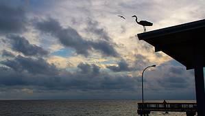 Pelican on Fairhope Pier in Fairhope, Alabama 36532